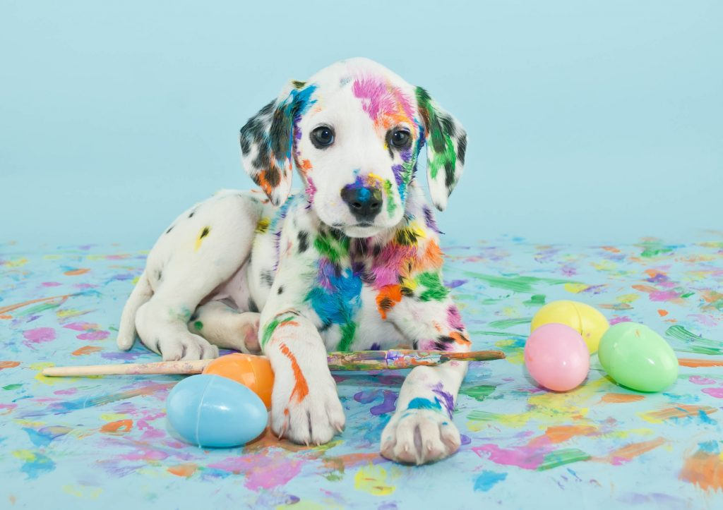 Dalmatian puppy covered in paint with plastic easter eggs