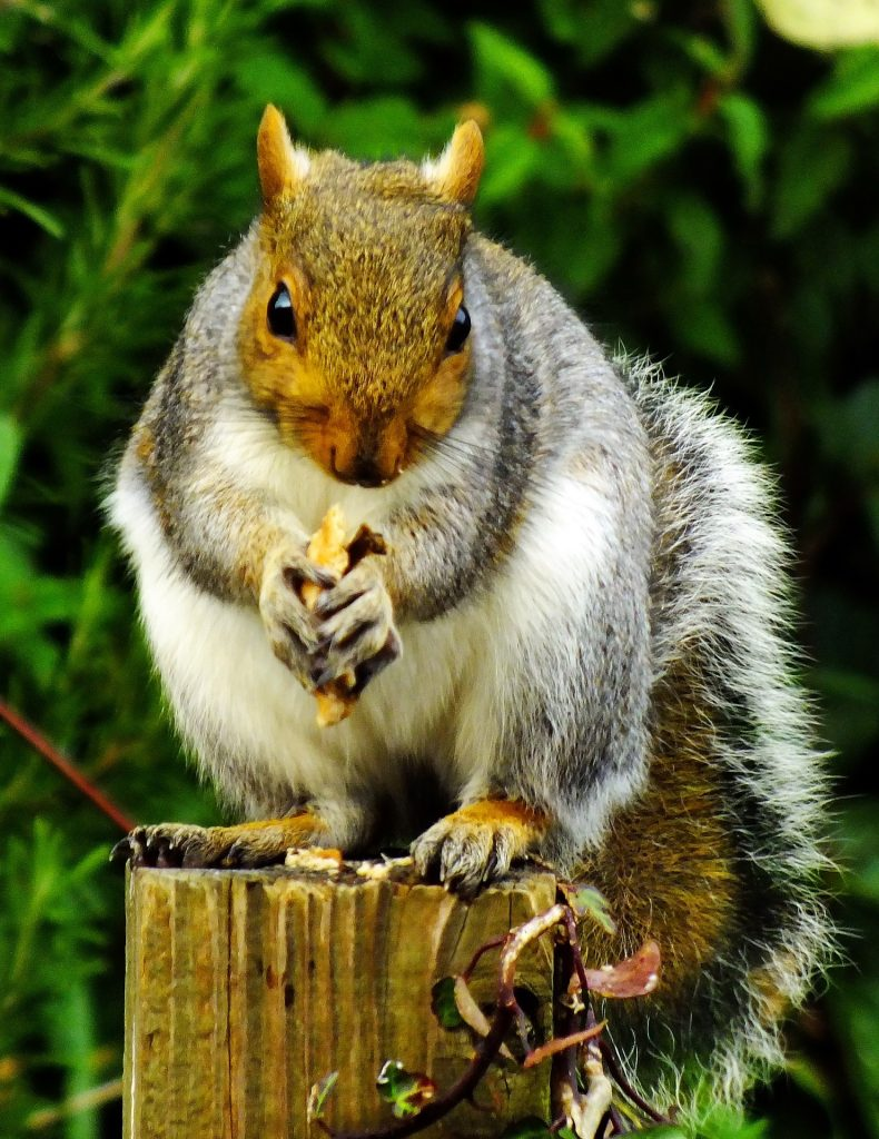 Squirrel standing on a stump