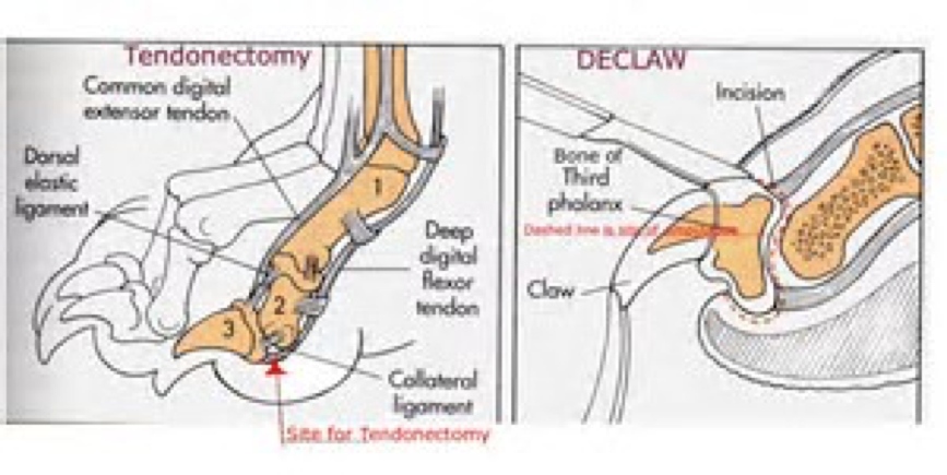 Diagram of tendonectomy and declaw