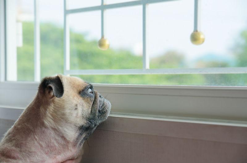 Dog staring at window