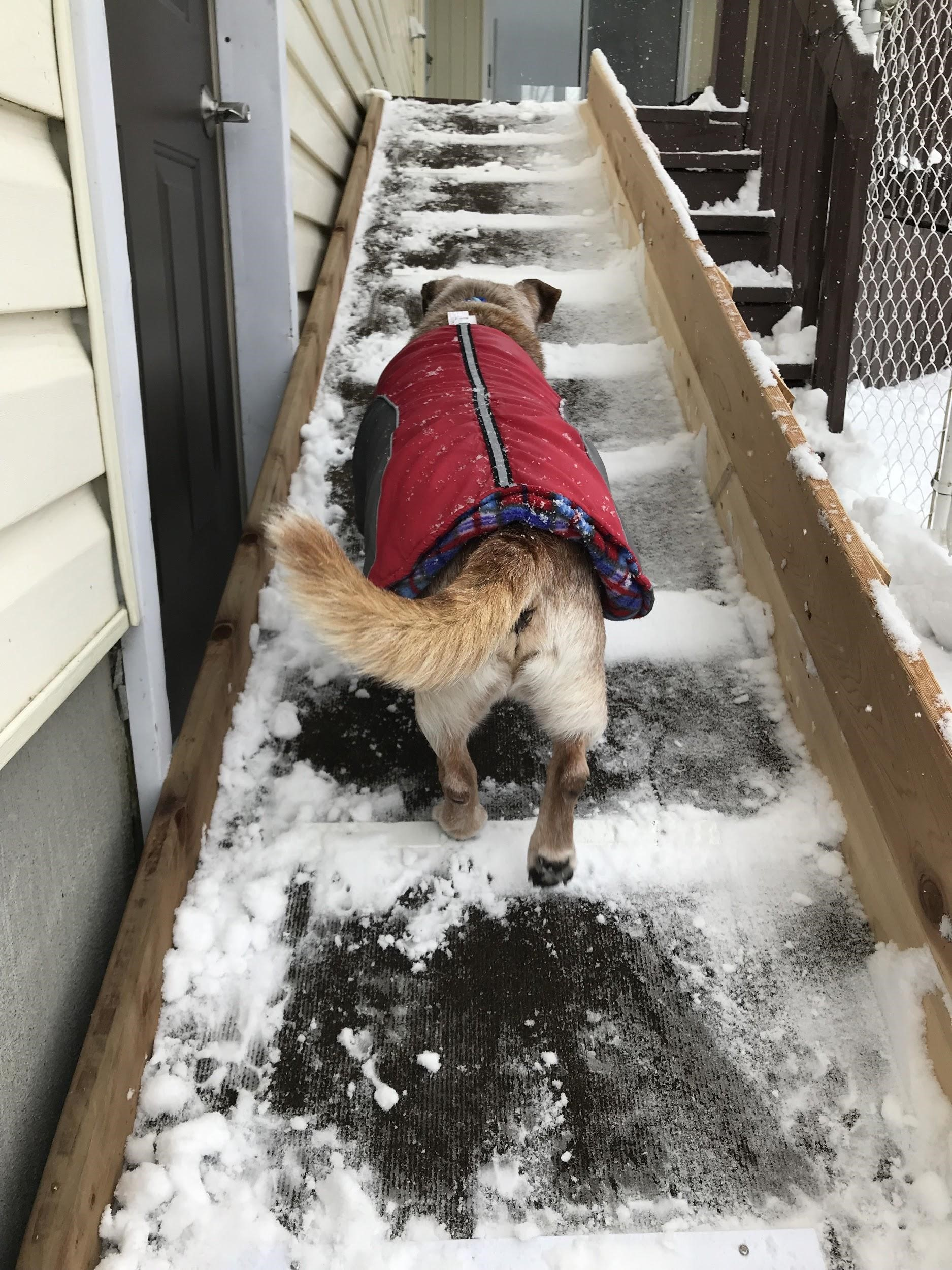 Back view of a dog wearing a jacket and walking up snowy stairs