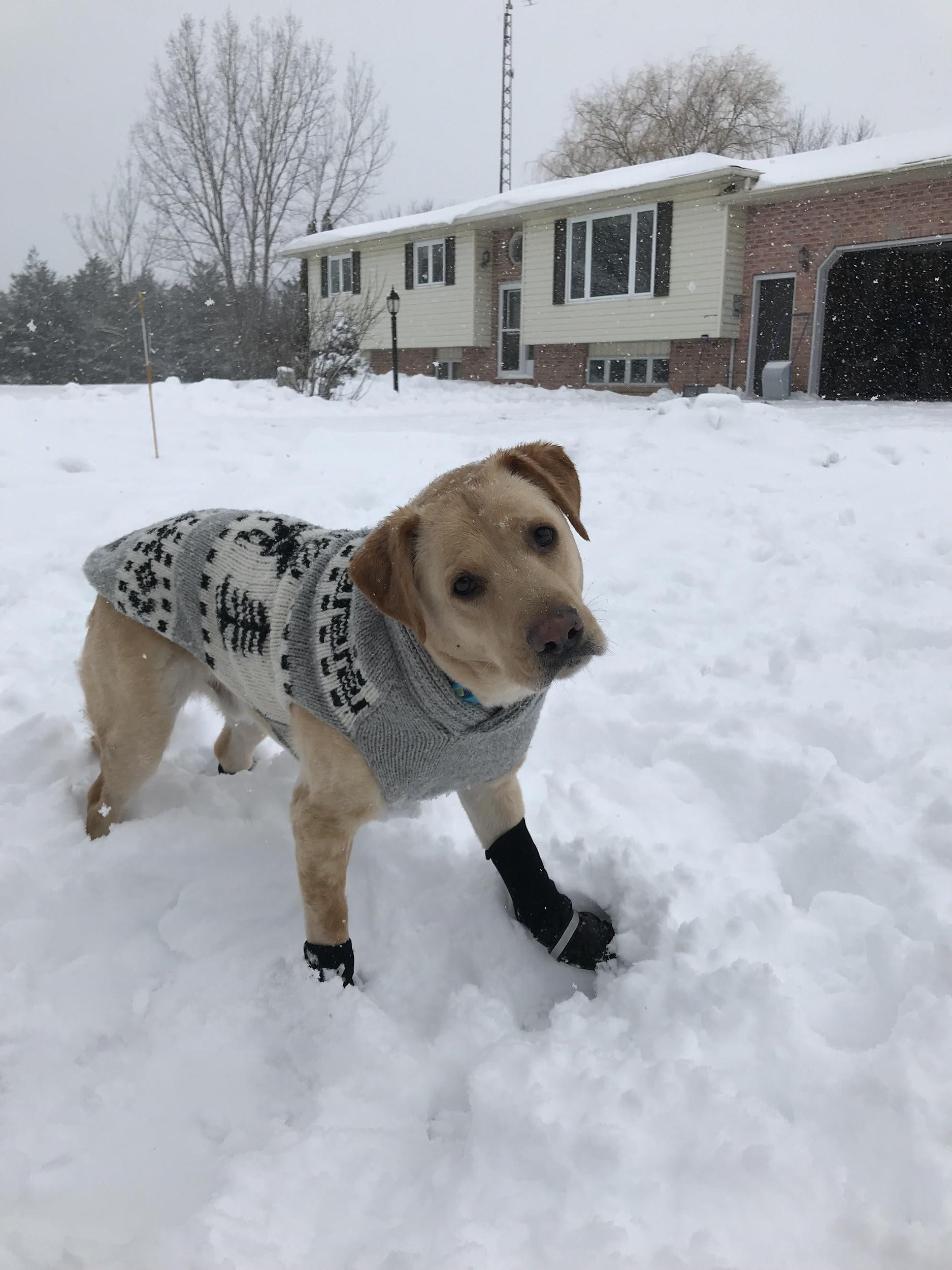 A dog wearing a sweater and standing in snow