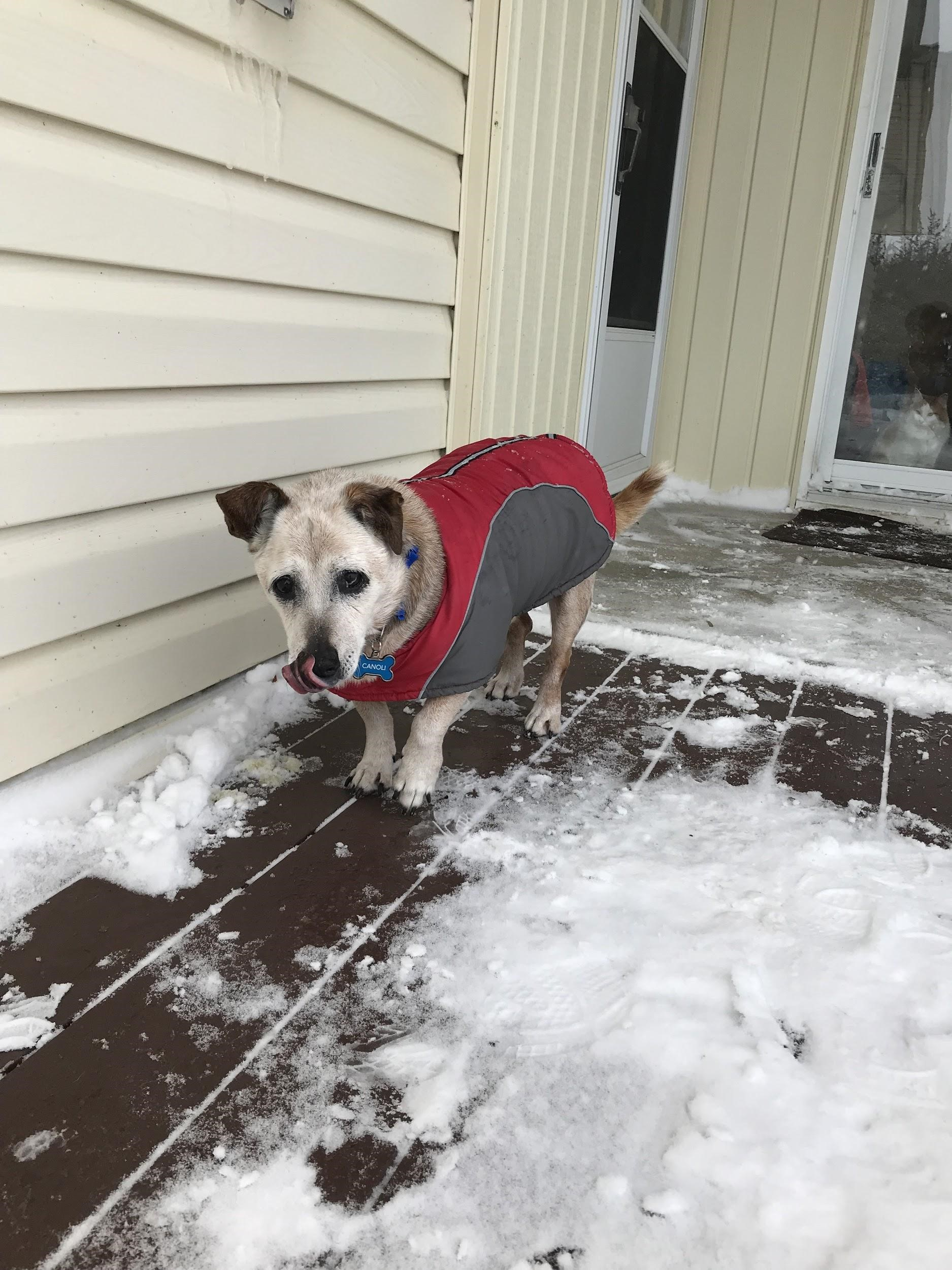 A dog wearing a jacket and standing on snowy ground